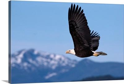 Alaska, Tongass National Forest, Bald Eagle In Flight