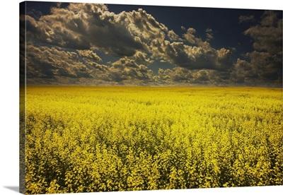 Alberta, Canada; A Canola Field Under Clouds