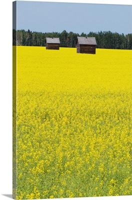 Alberta, Canada, Two Wooden Shacks In A Canola Field