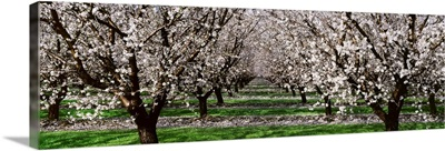 Almond orchard, looking down between rows of almond trees in full bloom