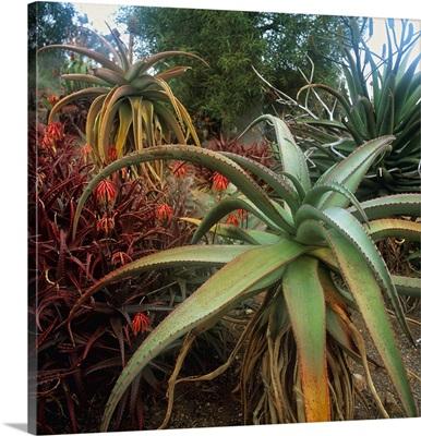 Aloe plants at Flavel Garden, San Diego, California
