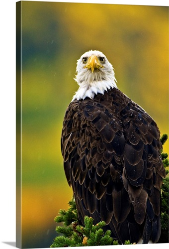 american bald eagle perched on evergreen branch wall art canvas