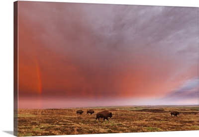 American Bison And Rainbow After The Storm At Cross Ranch Preserve, North Dakota