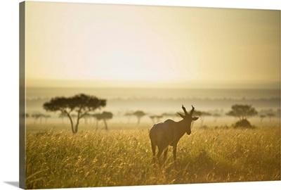An Antelope Walks In The Grassland At Sunset, Kenya