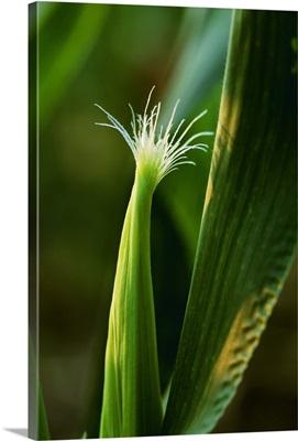 An ear of grain corn showing the emerging pollen collecting silks