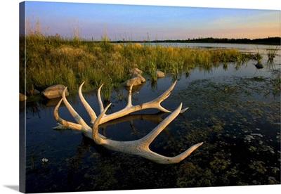 An Elk's Horns Lay In The Water At Astotin Lake; Alberta, Canada