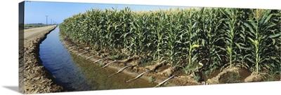 An irrigation ditch flows along the edge of a grain corn field