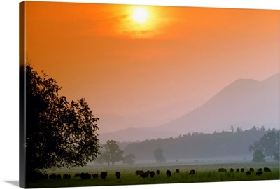 Angus beef cattle graze a green pasture near sunset, Cades Cove, Tennessee