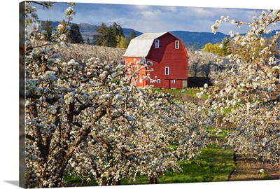 Apple Blossom Trees And A Red Barn; Oregon, USA