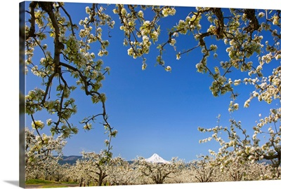 Apple Blossom Trees In Hood River Valley, Oregon
