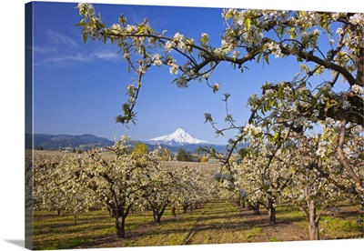 Apple Blossom Trees In Hood River Valley With Mount Hood In The Background; Oregon, USA