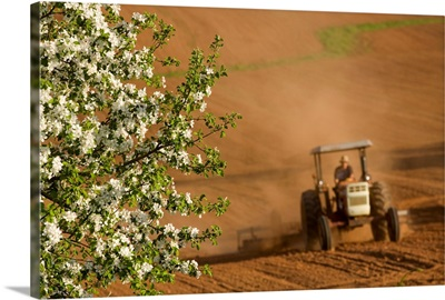 Apple Blossoms And Farmer On Tractor, Prince Edward Island, Canada