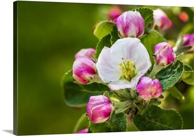 Apple Blossoms, Calgary, Alberta, Canada