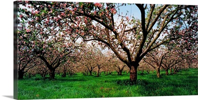Apple Orchard, County Armagh, Ireland