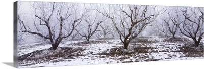 Apple orchard covered in winter frost, Idaho