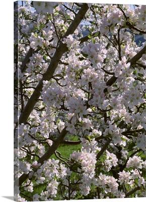 Apple tree in full, exceptionally heavy bloom, near Oroville, Washington