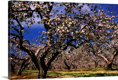 Apple Trees In An Orchard, County Armagh, Republic Of Ireland