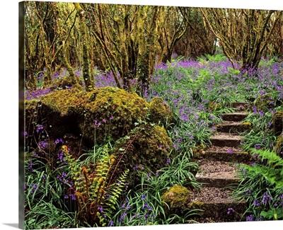 Ardcarrig Gardens, Co Galway, Ireland; Hazel Coppice And Bluebells