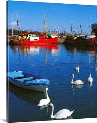 Ardglass, Co Down, Ireland; Swans Near Fishing Boats