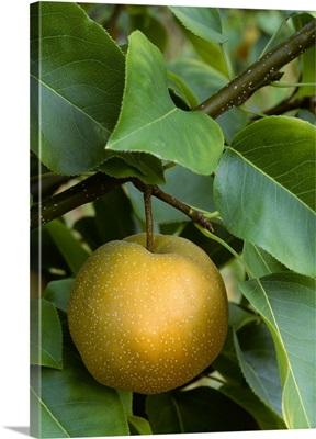 Asian Pear (Pear apple) on the tree, Washington