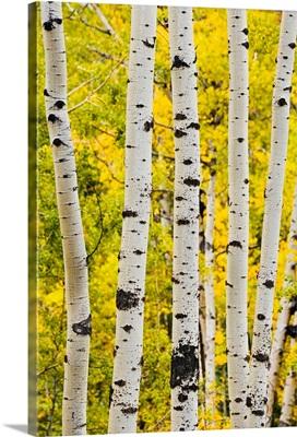 Aspen In Autumn, Jasper National Park, Alberta, Canada