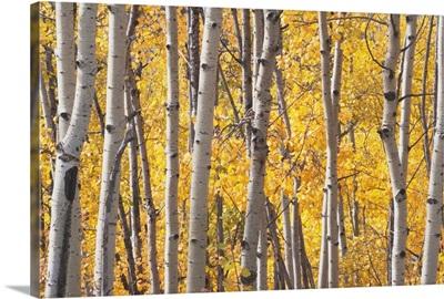 Aspen Trees In Autumn, Kananaskis Country, Alberta, Canada