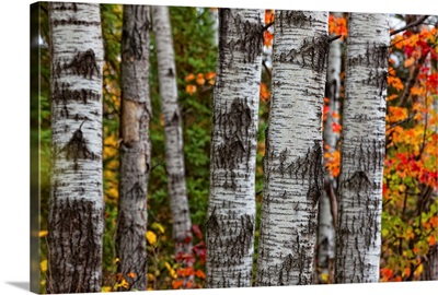 Aspen Trees Surrounded By Autumn Leaves In Algonquin Provincial Park, Ontario