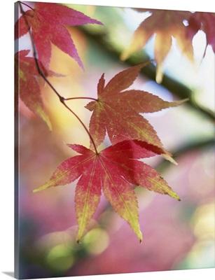 Autumn Foliage Of Japanese Maple, Westonbirt Arboretum, Gloucestershire, England