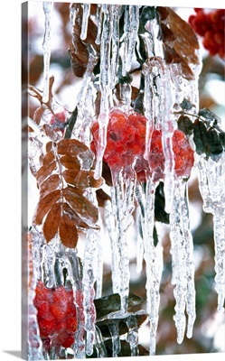 Autumn Leaves Covered In Ice