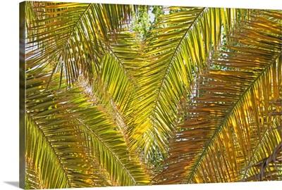 Backlit Palm Leaves; Mendoza, Argentina