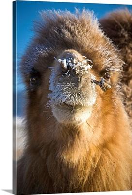 Bactrian Camel (Camelus Bactrianus), Mongolia