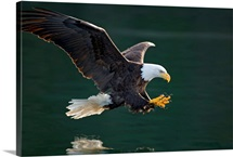 Bald Eagle catching fish along the shoreline Inside Passage Tongass National Forest