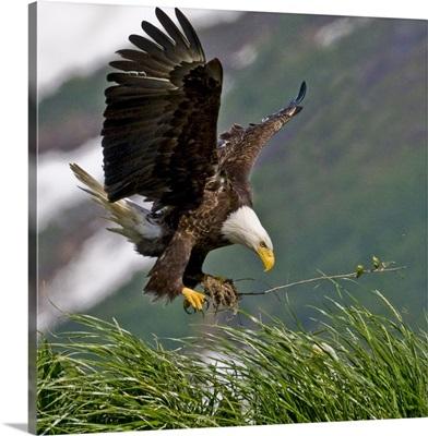 Bald Eagle gathering materials for a nest Kukak Bay Katmai National Park