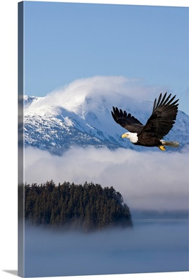 Bald Eagle in flight over the Inside Passage near Tongass National Forest