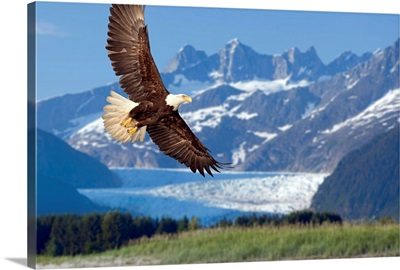 Bald Eagle in flight with Mendenhall Glacier in background