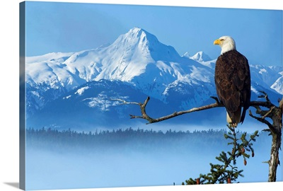 Bald Eagle Perched On Spruce Branch Overlooking The Chilkat Mountains, Alaska