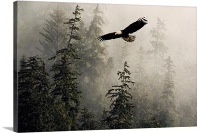 Bald Eagle Soaring Through Misty Tongass Nat Forest Southeast Alaska