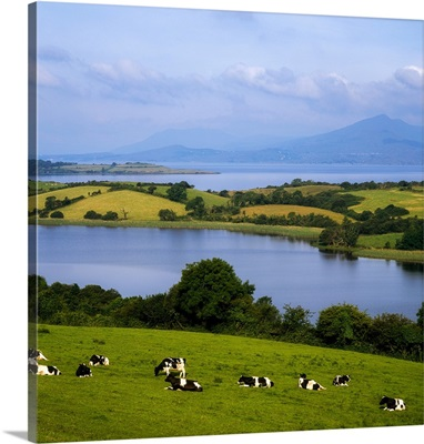 Bantry Bay, County Cork, Ireland, Holstein-Fresian Cattle