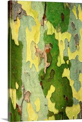 Bark Of A Sycamore Tree