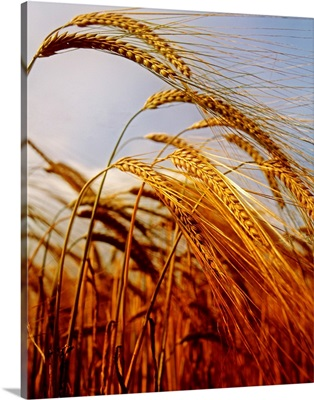 Barley, County Meath, Ireland