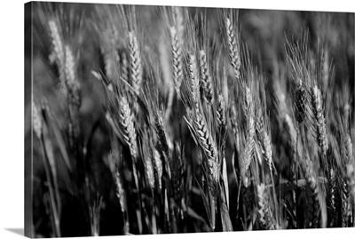 Barley grain in the rolling fields in Palouse County of Eastern Washington