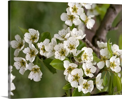 Bartlett pear blossoms at full bloom