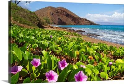 Beach morning glory with Pu'u O'lai in background, Makena, Maui, Hawaii