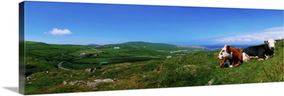 Beara Peninsula, West Cork, County Cork, Ireland, Cattle Resting On Hillside