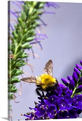 Bee On Purple Flowers