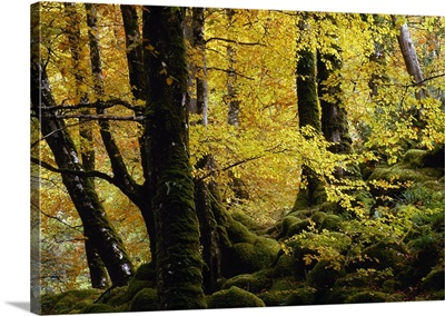 Beech Trees in Autumn, Glenveagh National Park, County Donegal, Ireland