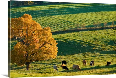 Beef Cattle Grazing In Autumn, North Wiltshire, Prince Edward Island, Canada