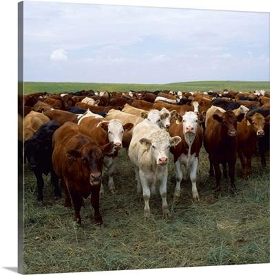 Beef cattle on a grassland pasture, South Dakota