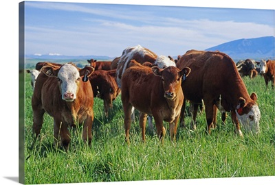Beef, cow-calf herd on a pasture, Central Montana