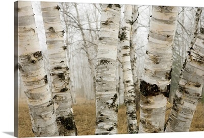 Birch Trees In The Fog In Early Spring, Ontario, Canada